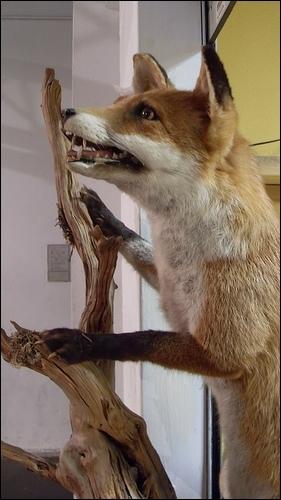 Quel est le nom scientifique du renard roux (ou renard commun), sachant qu'il appartient au genre 'vulpes' ?