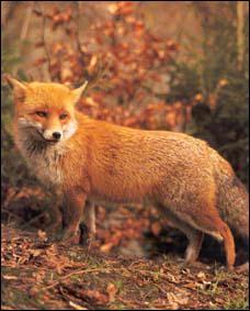 Quel est le poids moyen d'un renard roux ?