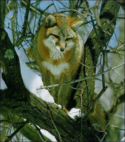 Sur quel(s) continent(s) le renard n'est-il pas présent ?