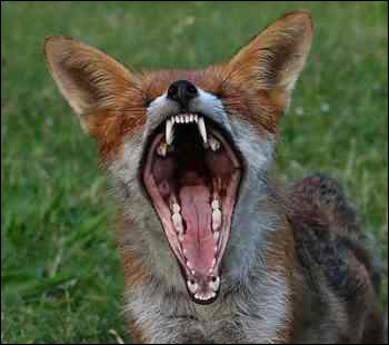 Le renard a plus de dents que le chien.