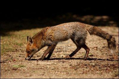 Le renard a un meilleur odorat que le chien.