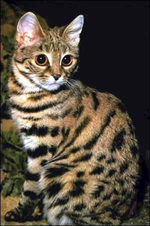 C'est le plus petit félin (moins de 50 cm). Il vit en Afrique australe. Quel est ce félin ?