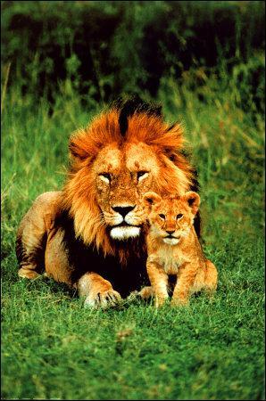 Retrouvez l'affirmation FAUSSE concernant le lion.