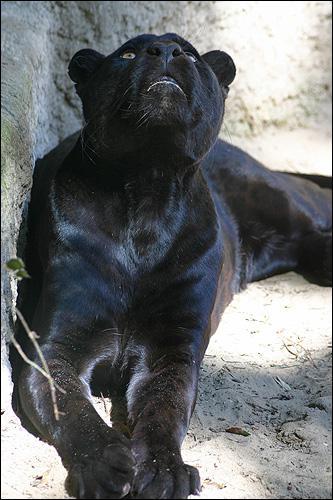 La panthère noire est une espèce distincte des autres panthères : vrai ou faux ?