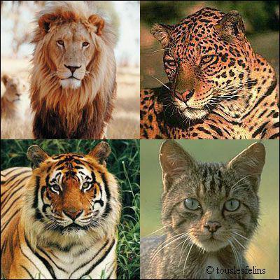 Quizz les f lins sauvages quizz photos quiz felins sauvages predateurs - Felin de la savane ...