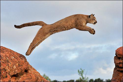 Le puma saute le plus haut parmi les félins : à quelle hauteur bondit-il sans élan ?