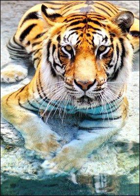 Le tigre est un excellent nageur : vrai ou faux ?