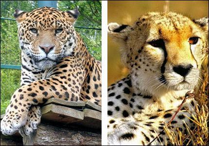 Quelles différences apparentes y a-t-il entre le jaguar, le léopard et le guépard ?