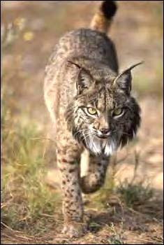 Quel est l'autre nom du lynx ?