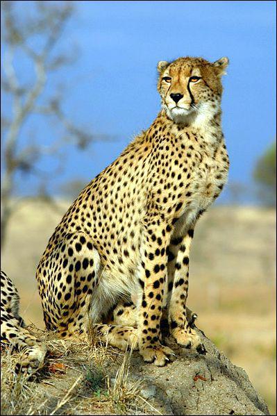 Il est le plus rapide de la savane africaine (jusqu'à 110km/h ! ). Il vit aussi dans quelques rares régions du Moyen-Orient. Quel est ce félin ?
