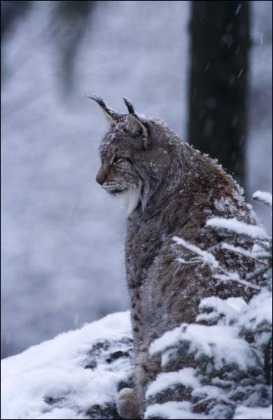C'est le plus grand félin d'Europe avec un poids allant jusqu'à 30kg. Il vit dans les forêts, surtout en Russie. Quel est ce félin ?