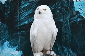 Comment s'appelle le harfang des neiges de Harry ?
