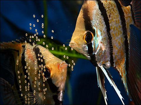Laquelle de ces espèces de poisson ne doit jamais être introduite avec un Scalaire ?