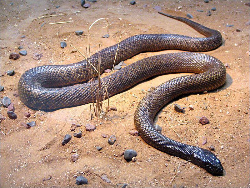Il vit dans le centre de l'Australie là où peu d'hommes le croisent. C'est le serpent le plus vénimeux du monde : une dose de son venin peut tuer 100 hommes. C'est... ?