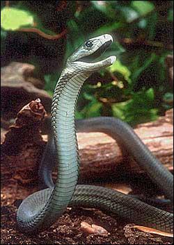 C'est le serpent le plus rapide avec une vitesse de 12 à 20 kilomètres à l'heure. Il vit en Afrique, est très vénimeux et mesure 2 à 4 mètres. C'est... ?
