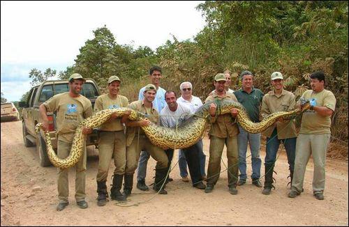 C'est le plus lourd serpent (maximum 200 kg et 9 mètres). Il peut tuer un jaguar. Il vit en Amérique du sud dans les fleuves ou les marécages. C'est... ?