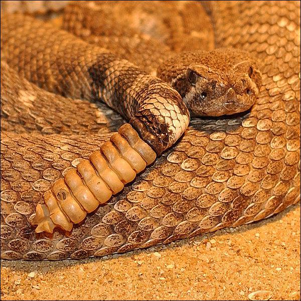 Quel est le véritable nom du serpent à sonnettes ?