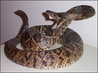 Pourquoi dit-on de ce serpent qu'il a une 'sonnette' ?