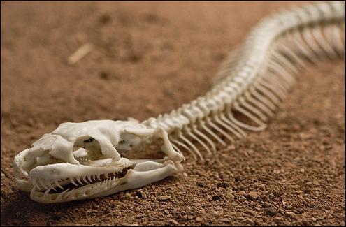 Retrouvez ce qui est vrai concernant l'anatomie du serpent.