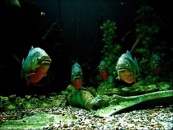 Les Piranhas à ventre rouge aiment ... ?