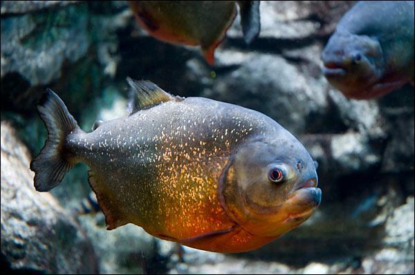 Les Piranhas à ventre rouge sont originaires ... ?