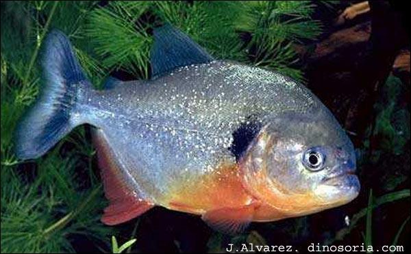 Dans la nature, les Piranhas à ventre rouge sont capables ...