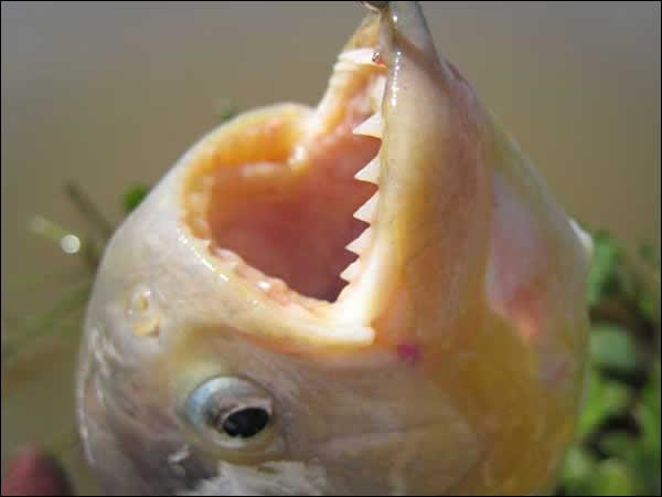 Pour chaque Piranha à ventre rouge, il faut prévoir ... ?