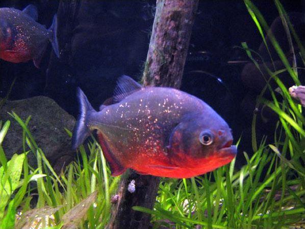 Le Piranha à ventre rouge