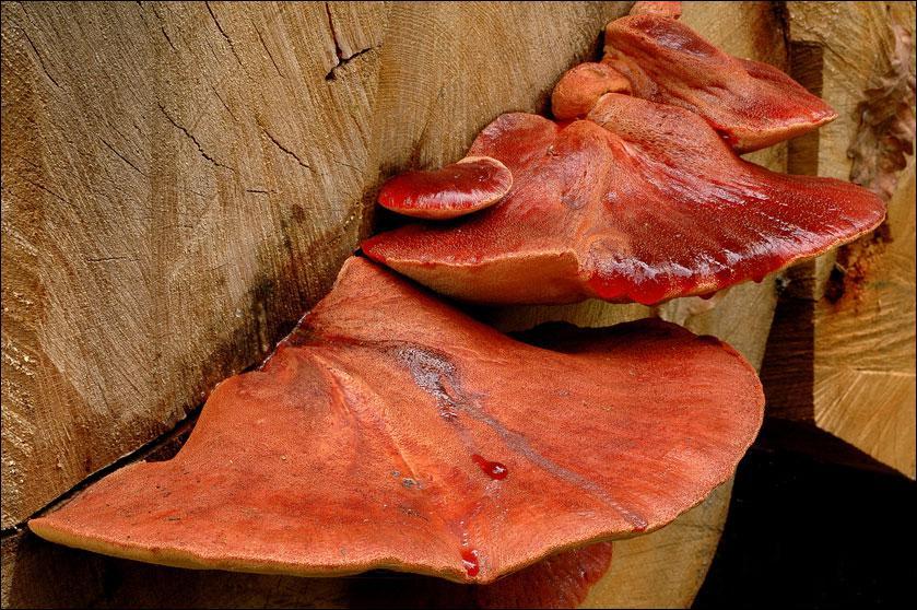 Quelle(s) est (sont) (la) ou (les) saisons de pousses de ce champignon ?