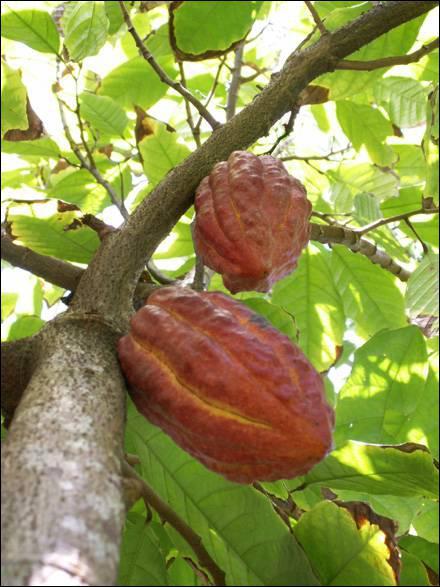 Quel mot désigne la graine du cacaoyer ?