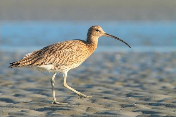J'ai un bec très long et courbé. J'ai un plumage rayé et tacheté de gris brunâtre. En vol j'ai une marque dorsale blanche pointue :
