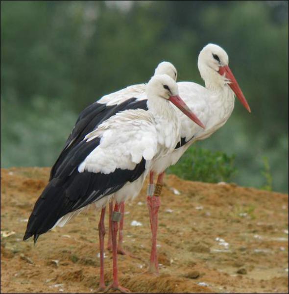 Quizz ornithologie quiz oiseaux for Oiseau bec rouge