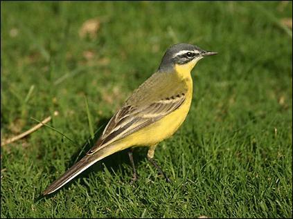 Quizz les oiseaux 5 quiz oiseaux marins rapaces for Oiseau ventre jaune