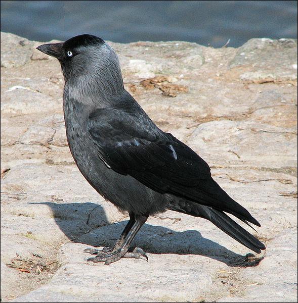 Quizz les oiseaux 5 quiz oiseaux marins rapaces for Oiseau longue queue ventre jaune