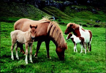 En zoologie que sont l'Islandais et l'Islandaise ?
