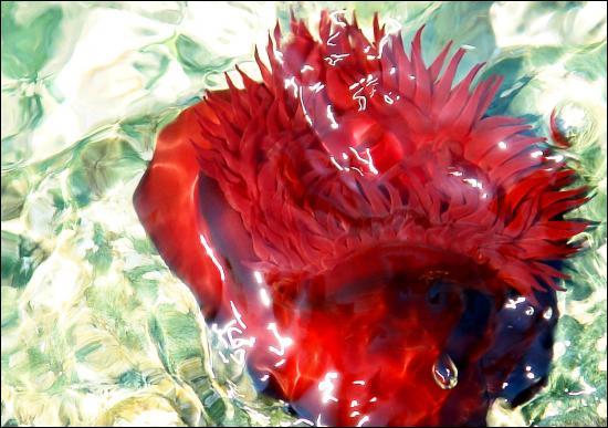 actinie rouge