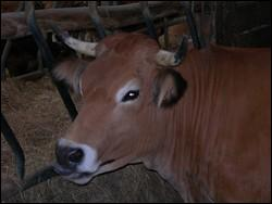 De quelle race est cette vache ?