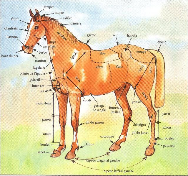 Où est la croupe du cheval ?