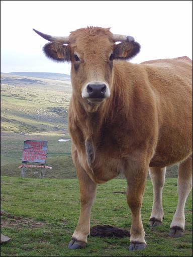 Quelle race de vaches n'est pas auvergnate ?