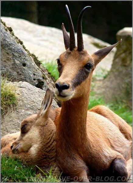 Le parc national des Pyrénées est le seul lieu en France où l'on trouve... ?