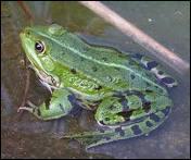 La grenouille hiberne-t-elle ?