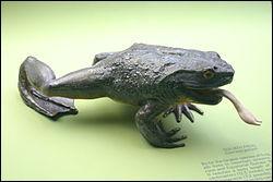 Dans quel pays vit la grenouille Goliath, appelée aussi grenouille géante ?