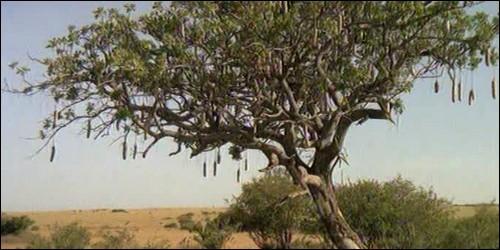 Le saucissonnier est un arbre.