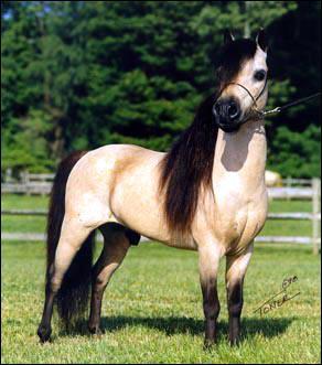 Quelle est la plus petite race de cheval ?