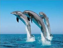 Ces merveilleux dauphins !