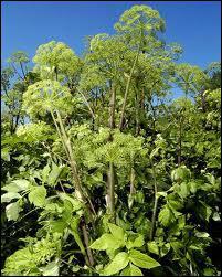 Quelle est cette plante presque exclusivement cultivée dans la région de Niort (Deux-Sèvres ) ?