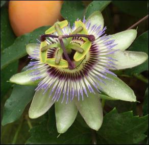 A quelle plante appartient cette fleur ?
