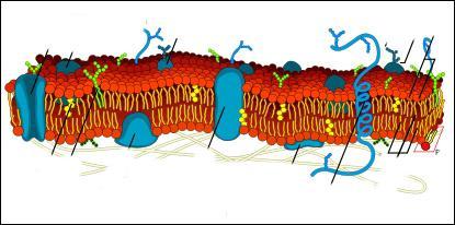7, 5 nm d'épaisseur, constituée de deux couches de glycérophospholipides et de protéines membranaires enchâssées dans la double couche.