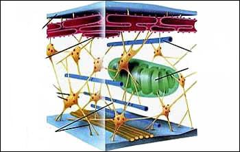 Ensemble de microtubules, de filaments et de microfilaments.
