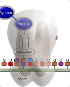 Granule arrondie fixé sur le RER, constitué de deux sous-unités qui se réunissent au moment de la synthèse des protéines.